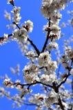 樱桃春天结构树 库存图片