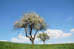 樱桃春天结构树 免版税库存照片