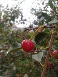 樱桃是可贵和健康庭院文化 免版税库存照片