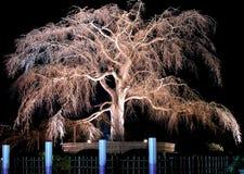 樱桃晚上老结构树 库存图片