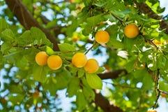 樱桃李子树用果子 免版税图库摄影