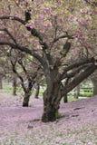 樱桃李属sargentii结构树 图库摄影