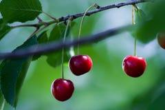 樱桃果子 库存图片