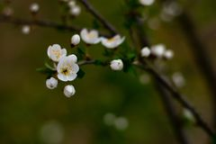 樱桃树分支与花和开花的叶子的 免版税图库摄影
