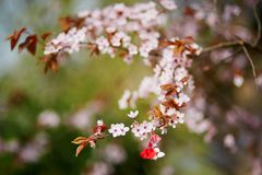 樱桃树分支与martisor,第一个春日的传统标志的 免版税库存图片