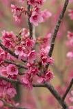 樱桃树分支和绽放 免版税库存照片