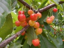 樱桃树分支用成熟橙色莓果 库存图片