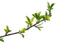 樱桃树分支第一片叶子  免版税图库摄影