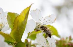 樱桃树分支芽作为美丽的春天花开花的季节概念的开花背景 免版税库存照片