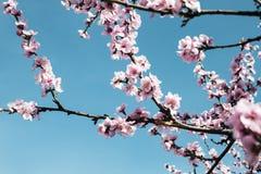 樱桃树分支芽在绽放背景中作为一朵美丽的春天花 库存照片