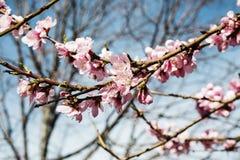 樱桃树分支芽在绽放背景中作为一朵美丽的春天花 免版税库存照片