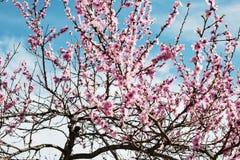 樱桃树分支芽在绽放背景中作为一朵美丽的春天花 免版税库存图片