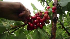 樱桃树和农夫采摘 影视素材
