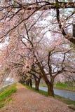 樱桃树和堤道 免版税库存照片