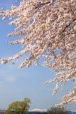 樱桃树和多雪的山 图库摄影