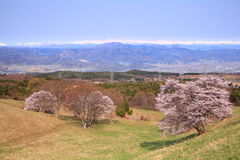 樱桃树和多雪的山 免版税图库摄影