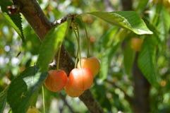 樱桃树和樱桃绘画,在樱桃树自然有机樱桃木头和樱桃桌,新鲜的雪儿的新樱桃绘画 免版税库存图片