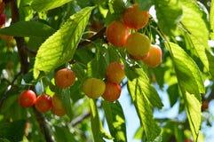 樱桃树和樱桃绘画,在樱桃树自然有机樱桃木头和樱桃桌,新鲜的雪儿的新樱桃绘画 免版税库存照片