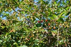 樱桃树和樱桃绘画,在樱桃树自然有机樱桃木头和樱桃桌,新鲜的雪儿的新樱桃绘画 图库摄影