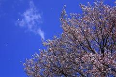 樱桃树和蓝天 免版税库存照片