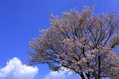 樱桃树和蓝天 免版税图库摄影