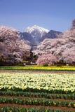 樱桃树和水仙领域 免版税图库摄影
