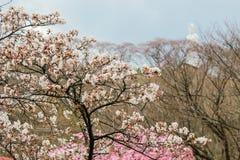 樱桃树和Funaoka和平Kannon在Funaoka城堡山顶破坏公园,柴田,宫城, Tohoku,日本 免版税库存照片