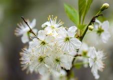 樱桃树在一个晴天,宏指令开花 免版税库存图片