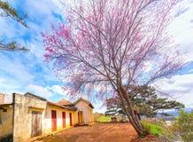 樱桃树在古庙旁边的杏子开花一百岁 图库摄影