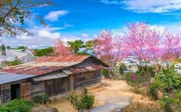 樱桃树在古庙旁边的杏子开花一百岁 库存照片