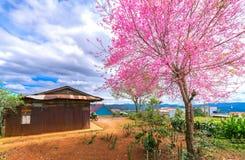 樱桃树在古庙旁边的杏子开花一百岁 免版税库存照片