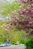 樱桃树在城市街道上的开花的期间 免版税库存图片