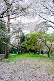樱桃树在大宫在春天停放,埼玉,日本 使用sakurafubuki和樱花瓣在地面上 库存图片