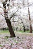 樱桃树在大宫在春天停放,埼玉,日本 使用sakurafubuki和樱花瓣在地面上 免版税库存图片