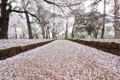 樱桃树在大宫在春天停放,埼玉,日本 使用sakurafubuki和樱花瓣在地面上 库存照片