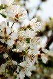 樱桃树在春天 免版税库存图片