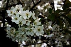 樱桃树在春天 免版税库存照片