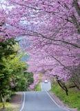 樱桃树在武陵农场台湾 免版税库存图片