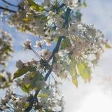樱桃树开花分支在春天,方形的大小 库存图片