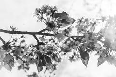 樱桃树开花分支在春天 库存照片