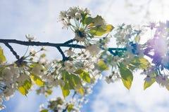 樱桃树开花分支在春天 库存图片