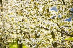 樱桃树开花春天 免版税图库摄影
