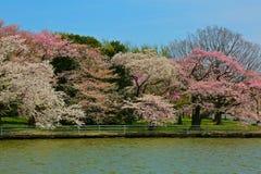 樱桃树开花潮水坞华盛顿特区 免版税库存图片