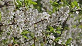 樱桃树开花的庭院花公园春天 股票录像