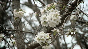 樱桃树开花花 股票录像