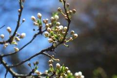 樱桃树开花,白花,春天 免版税库存照片