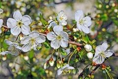 樱桃树开花 库存照片