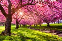 樱桃树开花