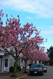 樱桃树排行了在Qualicum海滩的街道, BC 库存图片