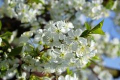 樱桃树春天白花 免版税库存照片
